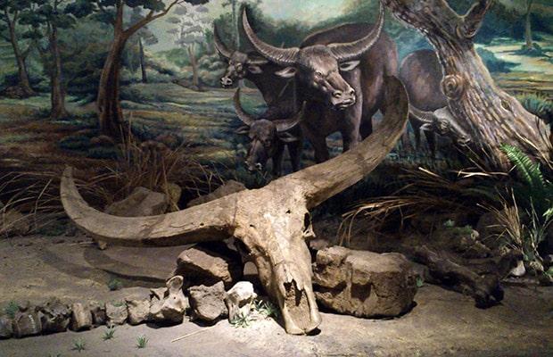 fosil manusia purba sangiran